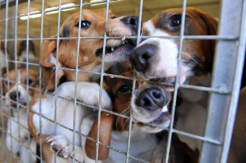 Lab-dogs harlan uk
